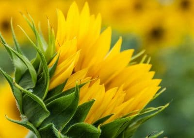 botanical art print of opening yellow sunflower closeup