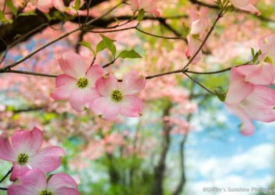 botanical print of pink dogwood blooms with blue sky background
