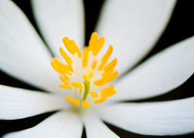 botanical print for sale of closeup bloodroot white flower