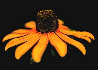 botanical print of closeup black eyed susan flower