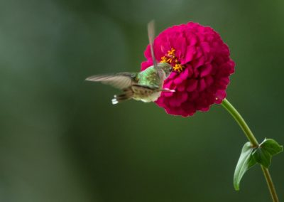 hummingbird hovering over pink flower botanical art print