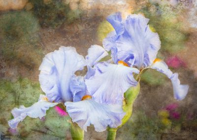 artistically edited pale purple iris photo with painted appearance