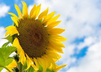 botanical print of large closeup yellow sunflower with bright blue sky