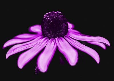 botanical print of black eyed susan edited to purple color