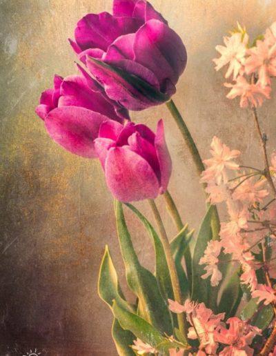 vintage botanical print of maroon tulip with pink flowers