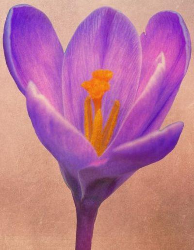 botanical art print for sale of vintage look purple crocus