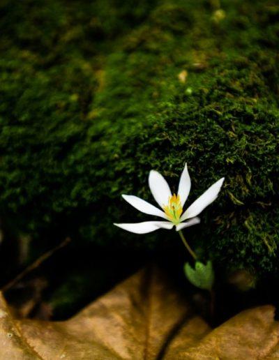 botanical art print for sale of tiny white native flower on forest floor