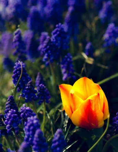 bright blue purple flowers with bright yellow and red tulip for botanical art print gallery