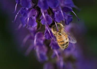 bee on purple flower closeup image for ijams nature center photo exhibit