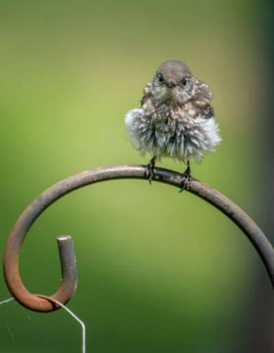 fluffy baby bluebird on perch for ijams nature center photo exhibit