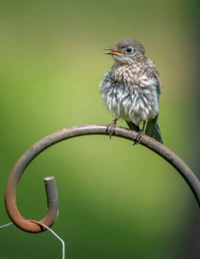 profile view of baby bluebird for ijams nature center photo exhibit