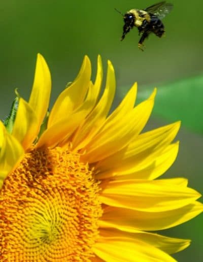 bumblebee approaching sunflower image for ijams nature center exhibit
