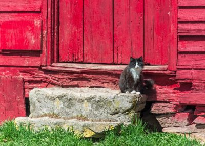 black and white cat on steps of red barn