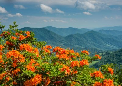 orange flame azaleas with blue sky and mountains in background