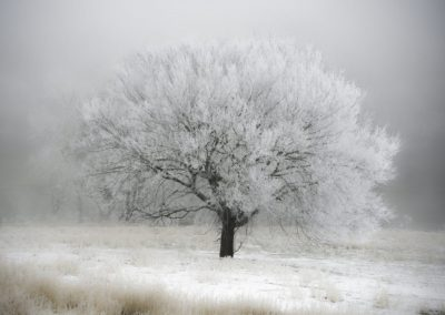 ijams nature center photo exhibit image of rime ice on a broad lone tree in an icy field with a gray sky