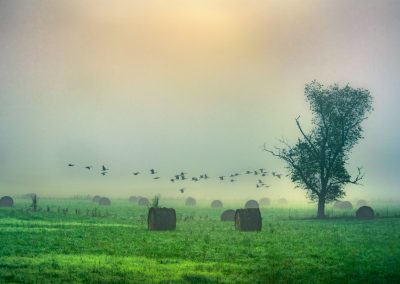 landscape art prints birds low flying over green hay bales at sunrise in the fog