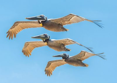 three brown pelicans in flight together
