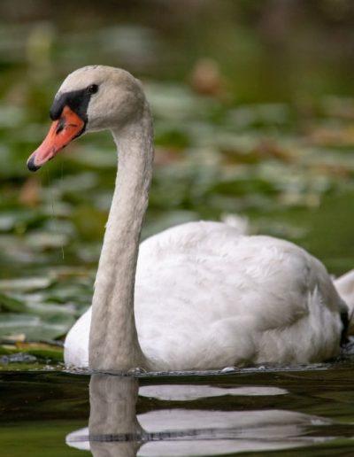 wildilfe art prints white swan floating gracefully on green water