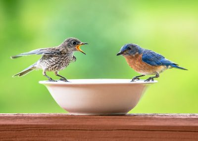 wildlife art prints male bluebird with baby bluebird with beak open waiting for food