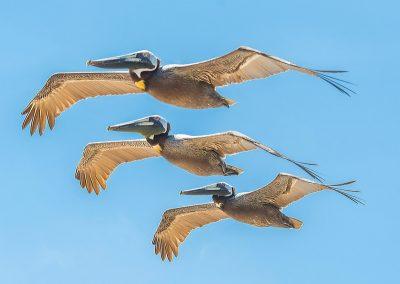 wildlife art prints 3 pelicans in flight