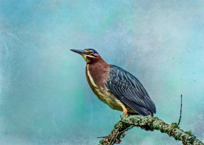 wildlife art prints green heron perched on tree branch