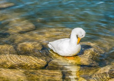 wildlife art prints white duck in clear water