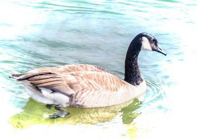 wildlife art print canadian goose in bright sunshine