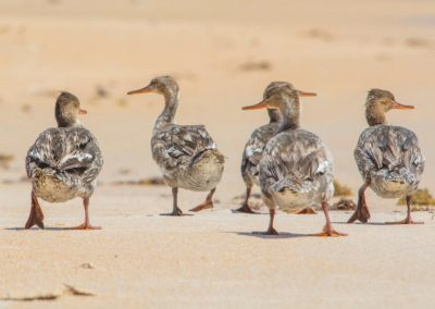 wildlife art prints brown sea birds walking along the beach together