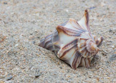 wildlife art prints conch shell on sandy beach