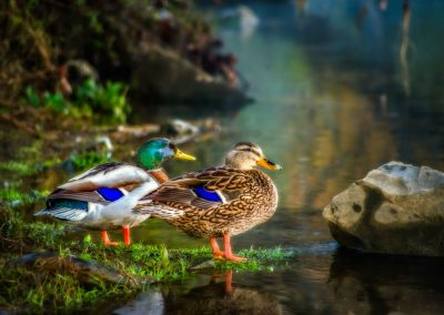 wildlife art print male and female mallard ducks with feet in edge of water on riverbank