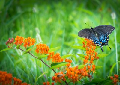 wildilfe art print of black and blue large butterfly on orange butterfly flower