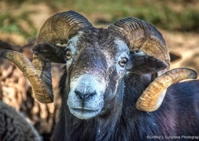 wildlife art prints ram with curved horns