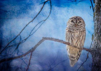 wildlife art prints sleeping owl on tree branch