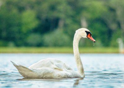 wildlife art prints white swan floating on blue water