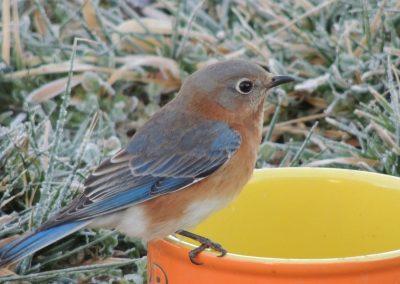 wildlife art prints female bluebird closeup image