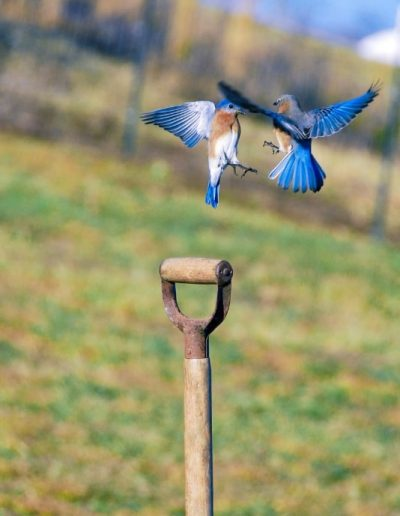 wildlife art prints 2 male bluebirds facing off in mid-air