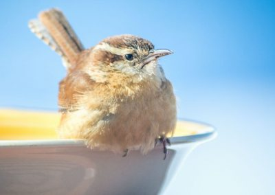 wren in bright light on edge of bowl